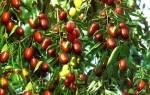 Зизифус лечебные свойства плодов