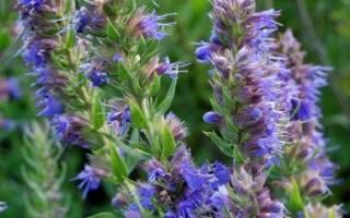 Иссоп лечебные свойства при астме
