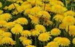 Сироп из цветков одуванчика лечебные свойства