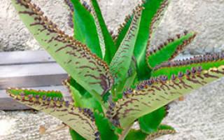 Каланхоэ с детками на листьях лечебные свойства