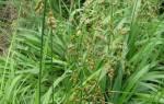 Растение зубровка лечебные свойства
