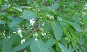 Сережки грецкого ореха лечебные свойства