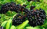 Садовая бузина черная лечебные свойства