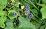 Ежевика растение лечебные свойства
