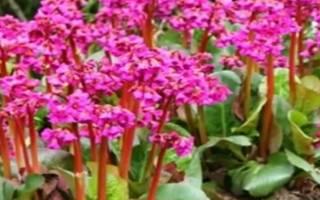 Бадан садовый лечебные свойства