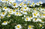 Ромашка садовая лечебные свойства