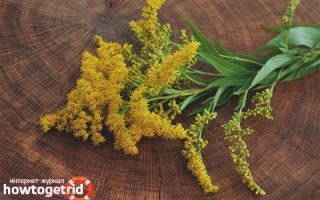 Золотая розга лечебные свойства и противопоказания для женщин