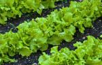 Салат листовой лечебные свойства и противопоказания