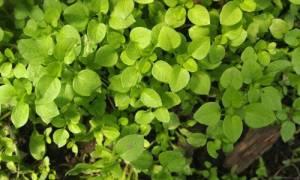 Сорняк мокрица лечебные свойства