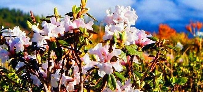 Рододендрон адамса лечебные свойства