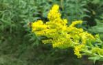 Золотарник золотая розга лечебные свойства