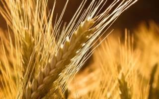 Солома пшеницы лечебные свойства