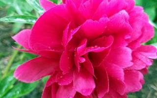 Корни пиона садового лечебные свойства