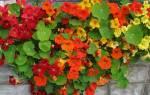 Семена настурции лечебные свойства