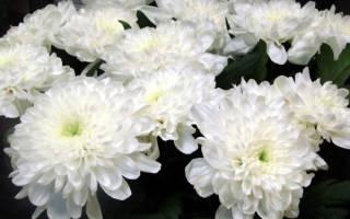 Лечебные свойства хризантемы девичьей