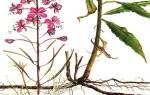 Кипрей корень лечебные свойства
