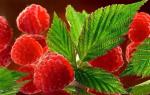 Какие лечебные свойства у малины?