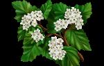 Листья боярки лечебные свойства
