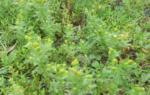 Ромашка пахучая лечебные свойства