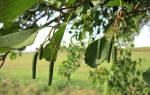 Семена ольхи лечебные свойства