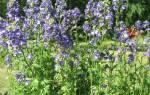 Синюха лазоревая лечебные свойства