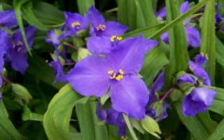 Домашние цветы традесканция лечебные свойства