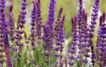 Семена шалфея лечебные свойства
