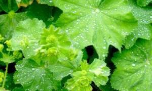 Лекарственные травы манжетка лечебные свойства и рецепты