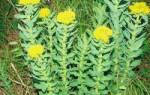 Золотой корень применение и противопоказания лечебные свойства