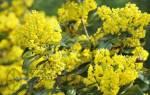 Mahonia aquifolium лечебные свойства