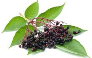 Бузина черная лечебные свойства листьев