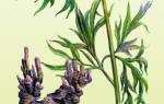 Марьин корень лечебные свойства для мужчин